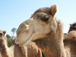 camel250