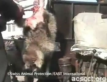Horrific video shows skinning of still alive raccoon dogs for fake ugg boots.