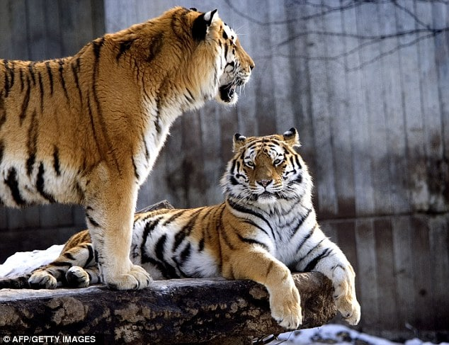 Did one man set out to kill himself when he was eaten by tigers at Copenhagen zoo?