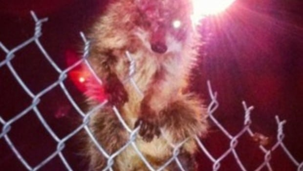 The one eyed raccoon with rabies needs you to love them.