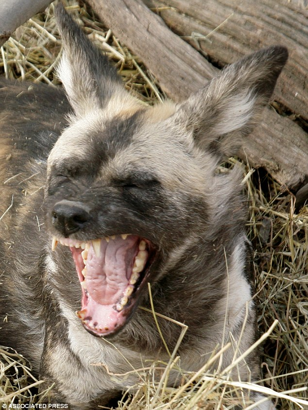 Maddox Derkosh: Identity of two year old boy mauled by wild African painted dogs released.