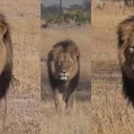 Cecil iconic lion killed after hunter bribed gamekeepers: It was worth $55K