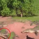 Video: Crocodile rips off fellow croc's leg and eats it during feeding time