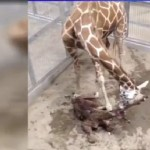 Baby giraffe runs into California zoo fence, dies