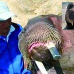 One more photo? Chinese walrus drowns man taking selfie along with zookeeper