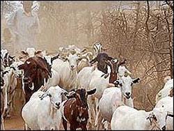 40-goats