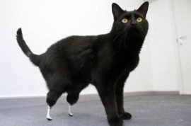 It's time to meet Oscar the bionic cat.