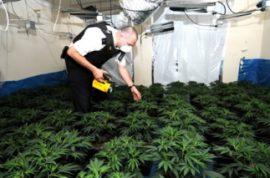 Police discover 20 large scale cannabis factories in Britain.