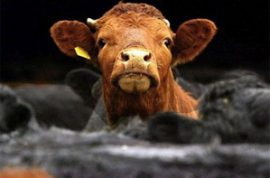 Billy Joe Gregg Jr. caught beating cows gets 8 months in jail.