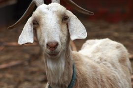 Twitter Worm Makes 'High-Profile' Users Declare 'Goat Lust'
