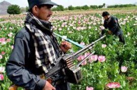 Poppy Virus Kills Crops by Half, Triples Heroin Prices