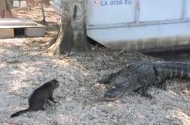 Vicious alligator gets bitch slapped by vicious cat.