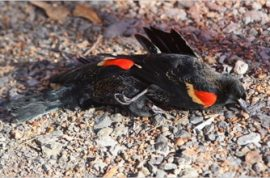 What caused 4000 red winged blackbirds to plummet to their death?