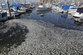 Millions of sardines found floating dead at California Beach.