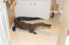 Alligator ends up paying surprise visit in Florida guest bedroom.