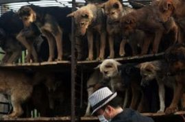 500 Chinese dogs saved from consumption.