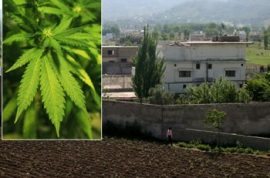 Marijuana crops planted outside Osama Bin Laden's compound; farmers growing the 'good shit'  near terror lair.