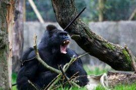 Jealous surrogate gorilla dad fatally wounds Tiny the infant gorilla son.