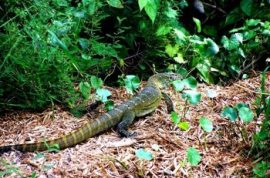 Adventurous Vacation Report: Florida Invaded By Giant Predatory Lizards