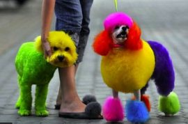 Isn't it time you also had a punk poodle?