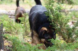 Swedish police train sperm-sniffing dog to catch rapist.