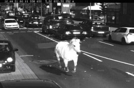 Runaway horse caught speeding through down town traffic cameras