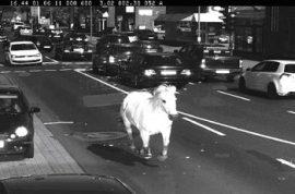 Runaway horse caught speeding through down town traffic cameras