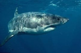 Tourist is cut in two from the waist down whilst body surfing by a great white shark.