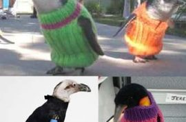 Wildlife group asks people to donate sexy knits for oil stricken penguins off New Zealand coastline.