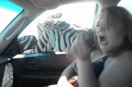 Wack bixch has her shoulder bitten by a hungry zebra.