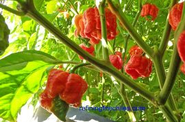 Gourmet: Eating trinidad moruga scorpion pepper is just like smoking crack.