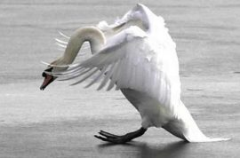 Caretaker drowns after being consistently attacked by swan.