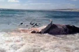 Video: Surfer films 100 tiger sharks feasting on dead whale.