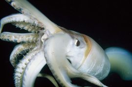 Pregnant squid hatches in Korean woman's mouth as she is eating calamari.