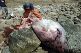 It's never convenient when a great white shark washes up on a New England beach.