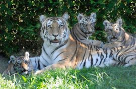Man attempting suicide mauled by tiger at Bronx zoo. Leapt from monorail.