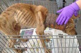 Emaciated dog discovered with can purposefully put over its neck. Hadn't eaten in weeks.