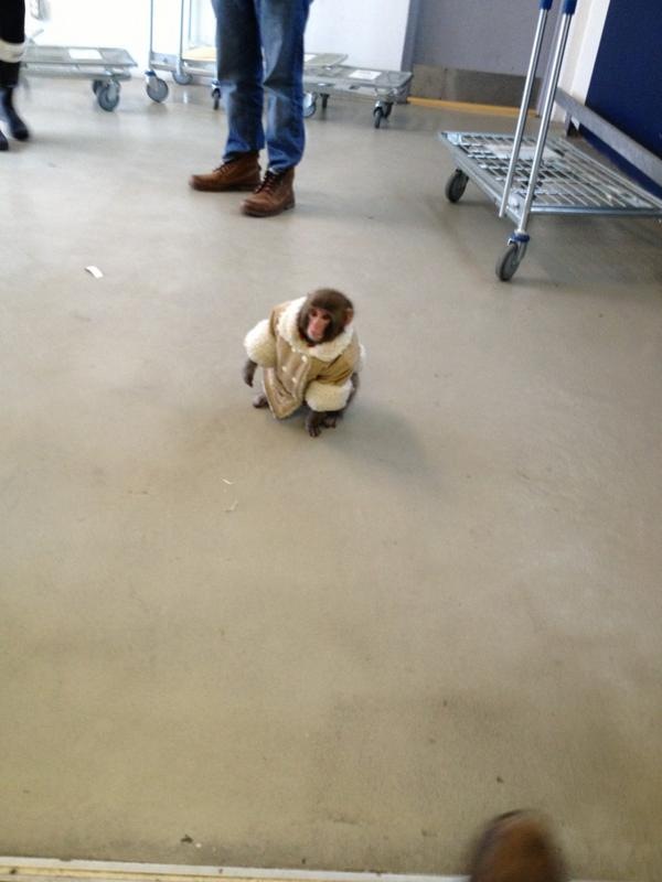 Cute monkey in shearing coat and diapers at Canadian Ikea store.