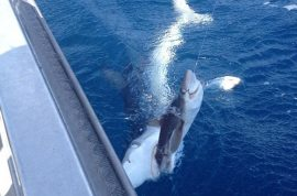 And here's a picture of a shark being gobbled up by a bigger shark as fisherman misses catch.