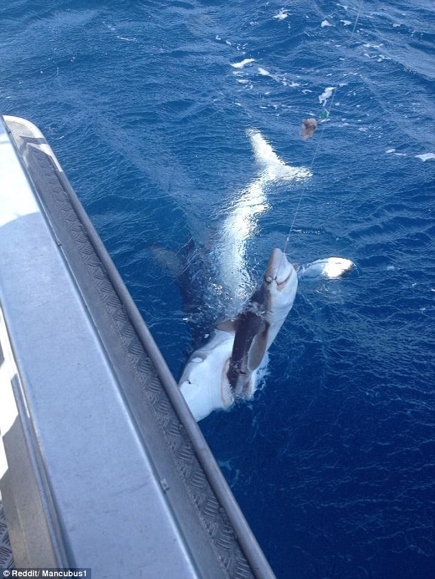 Shark being eaten up by another shark.