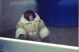Spotted, well dressed monkey in shearling coat and diaper in Canadian Ikea store.
