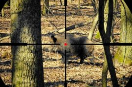 Hunter's bullet ricochets off boar and kills driver a mile away.