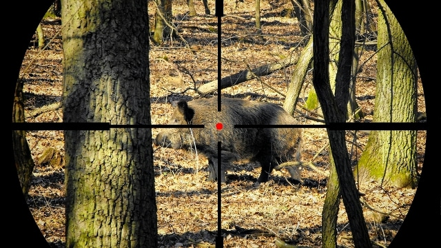 Hunter's bullet ricochets off boar