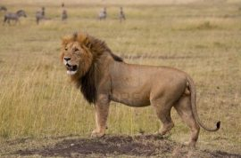 Woman mauled to death by lion as she made love.