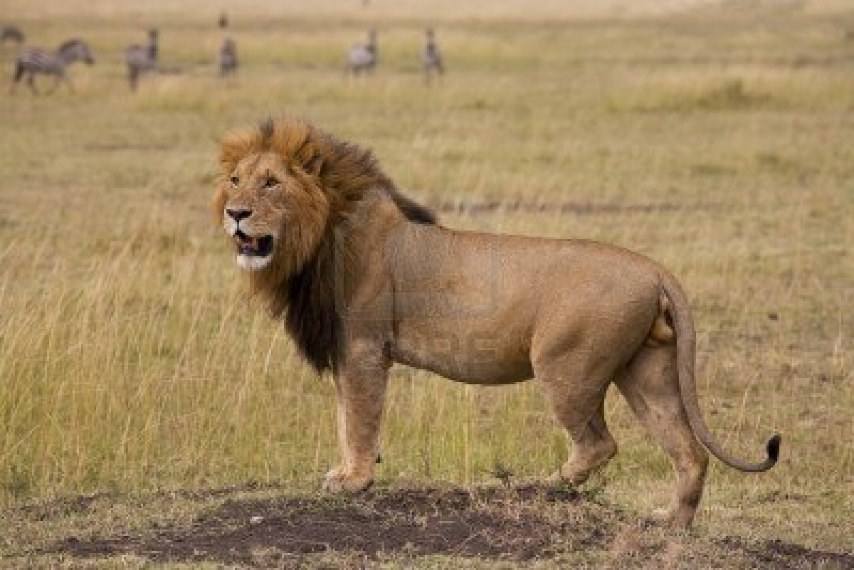 Woman mauled to death by lion