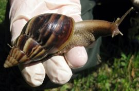 Giant African land snails are now invading Florida.