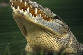 French fisherman escapes death by punching crocodile to death.