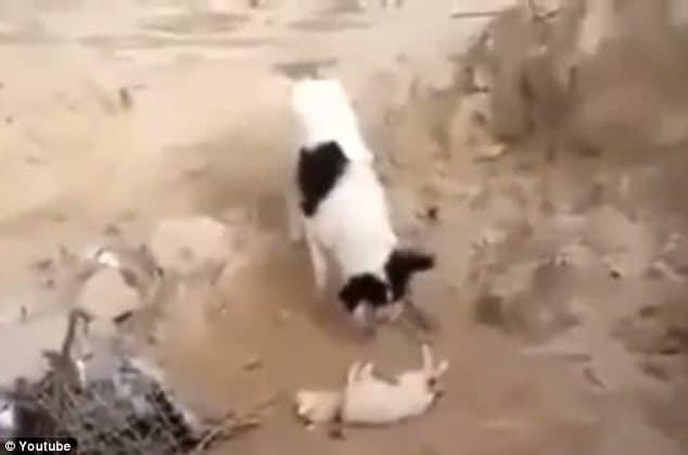 dog burying dead puppy