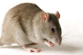 Flight attendant insists she did not smuggle rat in her underwear.