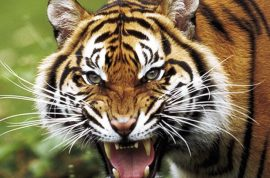 Tigers maul man to death, traps 5 others in tree for 4 days.